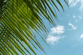 Green Coco Palm Leaf On Blue Sky Background. Relaxing Tropical Detail Toned Photo. Exotic Place For  poster