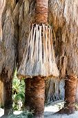 Close Up Of Fan Palms In The Indian Canyons Of Palm Springs California In The Coachella Valley poster
