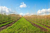 Young Trees Grow Along High Bamboo Sticks At A Dutch Tree Nursery On A Sunny Day In The Autumn Seaso poster