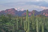 picture of superstition mountains  - Saguaros In Superstition Wilderness Near Phoenix Arizona - JPG
