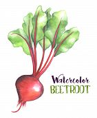 Watercolor Beet Root And Leaves Isolated On White Background. Beetroot Handdrawn Illustration. Red B poster