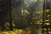 Morning Light In Forest Nature. Evaporating Trees In Forest Nature. Sunlight In Forest Nature After  poster
