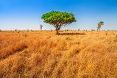 African Acacia Tree In Serengeti National Park In Tanzania, East Africa, Dry Season. Africa Safari S poster