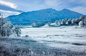 Winter On Alpine Meadows.cows Graze In Meadows Covered With Snow.against Mountains. poster