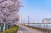 Cherry Blossoms In Full Bloom At Sumida Park.  Asakusa Sumida Park Cherry Blossom Festival. In Sprin poster