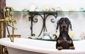 A Cute Little Dog Dachshund, Black And Tan, Taking A Vintage Bubble Bath With His Paws Up On The Rim poster
