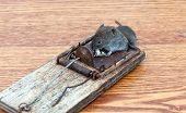 picture of dead mouse  - Dead mouse in a mousetrap close up - JPG