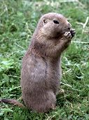 image of gopher  - Gopher Sitting In The Grass And Eating Something - JPG