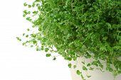 stock photo of irish moss  - baby - JPG
