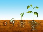stock photo of germination  - The germination process for a bean plant - JPG