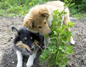 picture of sheltie  - two little sheltie puppy gnaw prickly bush - JPG