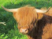 foto of highland-cattle  - Scottish highland cattle - JPG
