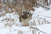 image of snow owl  - Short - JPG