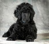 standard poodle puppy laying down - 8 weeks old