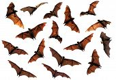 picture of bat  - Spooky Halloween flying fox fruit bats in flight composite image - JPG