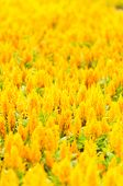 picture of celosia  - Yellow Gold Celosia Flower In The Garden