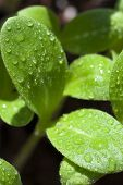 foto of borage  - Macro shot leaves of borage seedling wetted with water drops - JPG