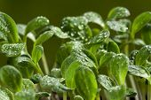 pic of borage  - Young herb plants of the borage seedling with water drops in the garden bed - JPG