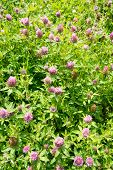 image of red clover  - A field of red clover - trifolium pratense