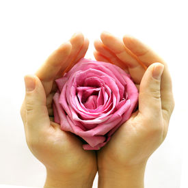 stock photo of pink rose  - delicate pink rose lovingly held in two hands on white background - JPG