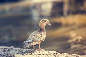 foto of boggy  - Female Duck standing on the rock near the river - JPG