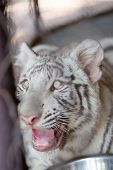 pic of white tiger cub  - close up of Young White Tiger is roaring - JPG