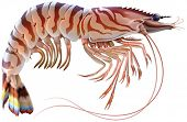 stock photo of tiger prawn  - Tiger prawn - JPG