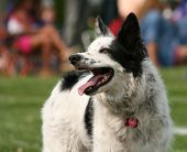 picture of cattle dog  -  a cute dog in the grass at a park during summer  - JPG