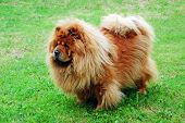 pic of chow  - Red chow chow on a green grass - JPG