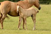 foto of paint horse  - American paint mare and colt horse on a cattle ranch in the Umpqua Valley near Roseburg Oregon - JPG