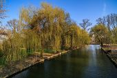 foto of weeping willow tree  - weeping willow on the shore of a lake in the park