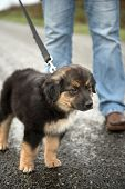 stock photo of collie  - Border Collie crossbreed puppy on a leash staring intently - JPG