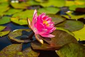 image of day-lilies  - Beautiful pink water lily in the pond on a sunny day - JPG