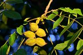foto of walnut-tree  - Fruits of a walnut tree close up - JPG