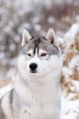 picture of husky sled dog breeds  - purebred siberian husky dog in winter portret - JPG