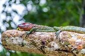 pic of rainforest animal  - View of a red headed iguana in the Amazon rainforest in Brazil - JPG
