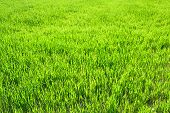 pic of grass area  - the background from a green grass in the field - JPG