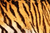 image of tigress  - beautiful tiger textured fur stripes on animal 