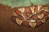 picture of terrarium  - southern copperhead  - JPG