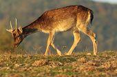 foto of buck  - young fallow deer buck grazing on meadow in beautiful light of sunset  - JPG