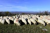 picture of grass area  - sheep flock grazing on grass in mountain area in Transylvania - JPG