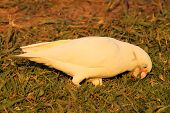 stock photo of eat grass  - A little corella eating off the grass in a park in Victoria - JPG