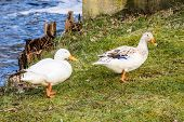 pic of cross-breeding  - Pair of rare wild white mallards Anas platyrhynchos at riverbank. These are not albinos but rather a likely cross breed with the domestic duck. Male drake is all white female with spots.
