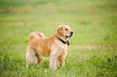 picture of labradors  - Labrador retriever staying in front of grass background - JPG