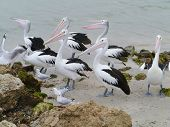 image of kangaroo  - Australian Pelicans  - JPG