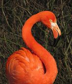 foto of flamingo  - beautiful big colorful flamingo with long neck - JPG