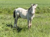 stock photo of foal  - Free foal in the field, in sunny day