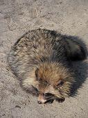 picture of raccoon  - A cute shaggy raccoon sleeping in the sun - JPG