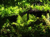 picture of enlightenment  - green fern enlightened with sun and dark shadows in the wood - JPG