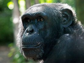 stock photo of chimp  - Portrait of a Chimp with a green background - JPG
